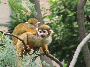 网曝上海动物园一游客用强激光器照射猴子眼睛