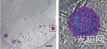 Nat Protocols:利用低温光学和电子显微镜联合技术观察并研究活体